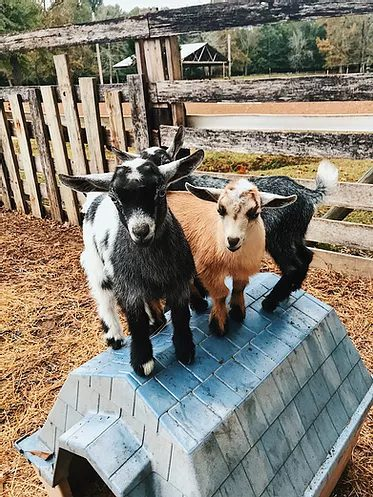 GOAT Pet Therapy